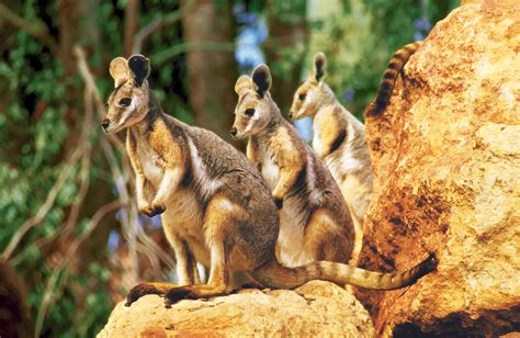 4 Rock Wallaby HD Wallpapers | Background Images