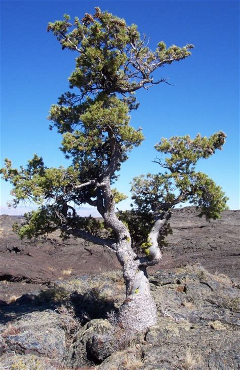 Limber Pine - Craters Of The Moon National Monument