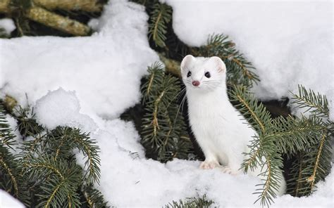 6 Stoat HD Wallpapers | Background Images - Wallpaper Abyss
