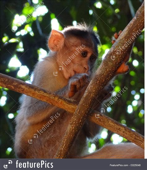 Rhesus Macaque Picture